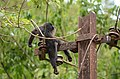 Electrocuted lion-tailed macaque infant in Valparai DSC 2559.jpg