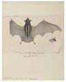 Emballonura bilineata - 1700-1880 - Print - Iconographia Zoologica - Special Collections University of Amsterdam - UBA01 IZ20800033.tif