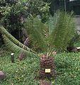 Encephalartos inopinus, Universiteit van Pretoria.jpg