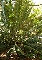 Encephalartos paucidentatus KirstenboshBotGard09292010A.jpg