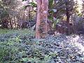 Enredaderas atrapan al árbol- arboretum lussich.JPG