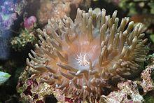 Entacmaea quadricolor.jpg