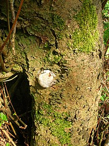 A fairly round, whitish structure protruding from a tree trunk
