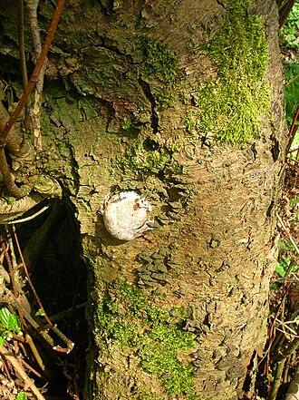 Enteridium lycoperdon - Alder bark with older aethalial or sporangial phase slime mould