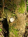 Enteridium lycoperdon, showing dark brown contents.JPG