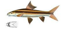 Flying fox (fish) - Wikipedia, the free encyclopedia