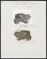 Epidalea calamita - 1700-1880 - Print - Iconographia Zoologica - Special Collections University of Amsterdam - UBA01 IZ11500181.tif