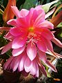 Epiphyllum - Anton Gunther hybrid cultivar.jpg
