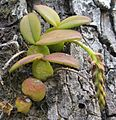 Epiphytic orchid (8193582044).jpg