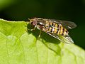 Episyrphus balteatus Zurich 2014 close.jpg