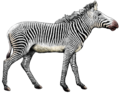 Equus grevyi (white background).png