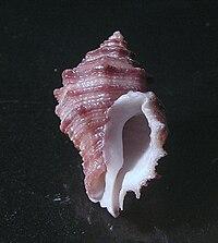 Ergalatax crassulnata 002