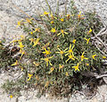 Ericameria suffruticosa Singlehead goldenbush high-altitude.jpg