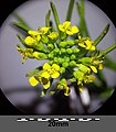 Erysimum cheiranthoides sl10.jpg