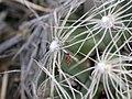 Escobaria missouriensis (4008222936).jpg