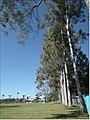 Eucaliptos. - panoramio (1).jpg