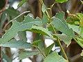 Eucalyptus globulus (Blue Gum) Crater Rd., Maui May 20, 2016 (27048703232).jpg