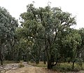 Eucalyptus obliqua habit.jpg