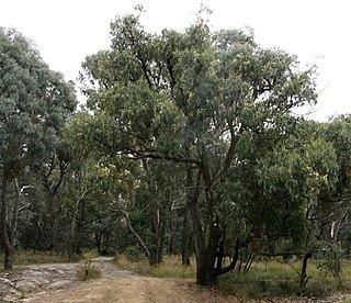 <i>Eucalyptus obliqua</i> species of plant
