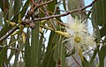 Eucalyptus tereticornis flowers, capsules, buds and foliage.jpeg