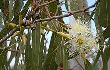 Eucalyptus tereticornis fleurs, capsules, bourgeons et feuillage.jpeg