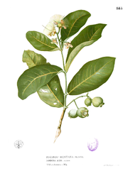 Eugenia sp Blanco1.145.png