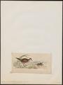 Eulabeornis castaneiventris - 1820-1863 - Print - Iconographia Zoologica - Special Collections University of Amsterdam - UBA01 IZ17500129.tif