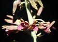 Eulophia alta - fl 2.jpg