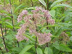 Eupatorium purpureum1.jpg