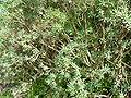 Euphorbia balsamifera (2009).jpg