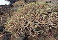 Euphorbia balsamifera kz2.JPG