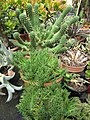 Euphorbia caput-medusae (3771601833).jpg
