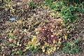 Euphorbia cyparissias - McConnell Arboretum & Botanical Gardens - DSC02933.JPG