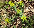 Euphorbia epithymoides Podkomorské lesy.JPG