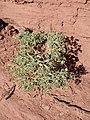 Euphorbia fendleri kz02.jpg