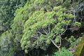 Euphorbia mellifera k3.jpg