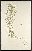 Euphorbia segetalis - Florae Austriacae - vol. 5 - t. 450.jpg