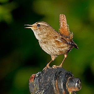 Eurasian wren - Eurasian wren in Germany.