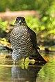 Eurasian Sparrowhawk male - Castelletto Merli - Italy FJ0A2404 (43767635555).jpg