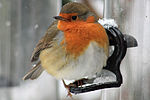 European Robin (Erithacus rubecula) In The Snow.jpg