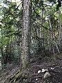 European Silver-fir Vallombrosa (FI), Italy.jpg