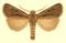 Euxoa trifurcula.png