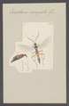 Exophanes - Print - Iconographia Zoologica - Special Collections University of Amsterdam - UBAINV0274 046 06 0142.tif