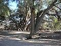 Faidherbia albida arbres MHNT.jpg