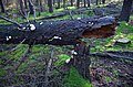 Fallen firtree at Westerheide, totally covered with rather rare Oligoporus ptychogaster (Boompuisten) - panoramio.jpg