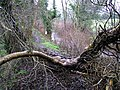 Fallen tree, Cranny, Omagh - geograph.org.uk - 664555.jpg