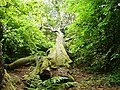Fallen tree - geograph.org.uk - 495932.jpg