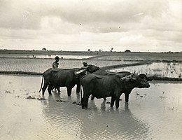 Two shirtless men standing partially concealed behind three buffaloes in a very large rice field. All are in ankle-deep water.