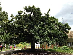 Federation of Australia - The Federal Oak in the gardens of the Victorian Parliament House in Melbourne. The tree was planted in 1890 by Sir Henry Parkes to commemorate the meeting of the Australian Federal Conference.