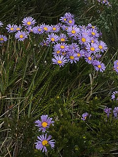 <i>Felicia echinata</i> a shrublet in the daisy family from South Africa